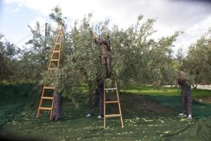オリーブ農園1 (2)